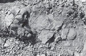 Allosaurus vertebrae, atlas, chevron, 1982