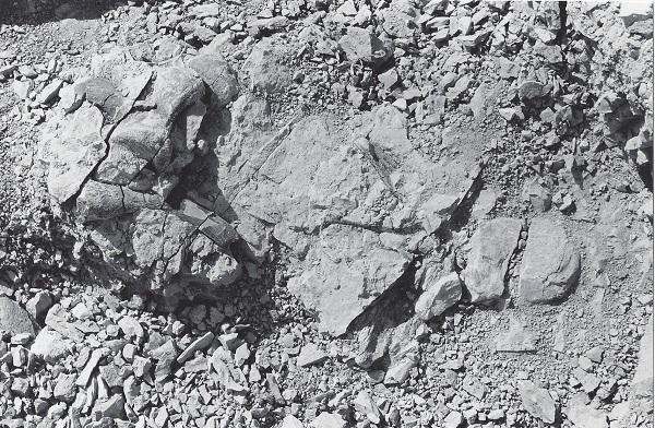 Allosaurus vertebrae, atlas, chevron from the DMNS allosaurus