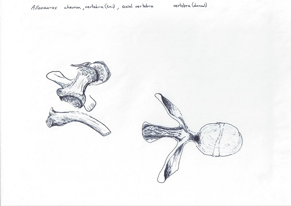 Sketch of allosaurus bones as found in the DMNS excavation