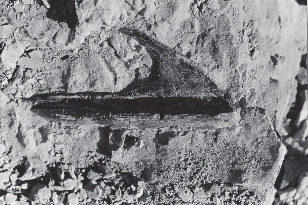Allosaurus nose bone from the DMNS allosaurus, still in the rock in northwest Colorado