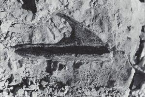 Allosaurus nose bone, 1982
