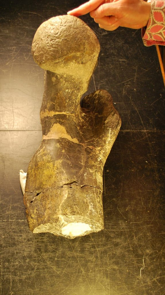 DMNS allosaurus femur half