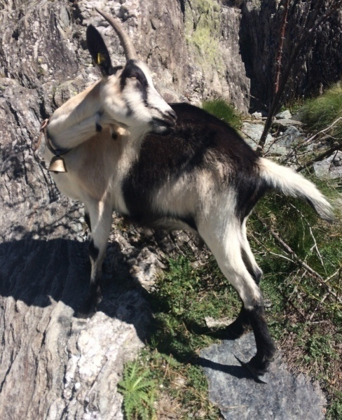 This goat was sneaking licks of hiker's legs along the glacier trail
