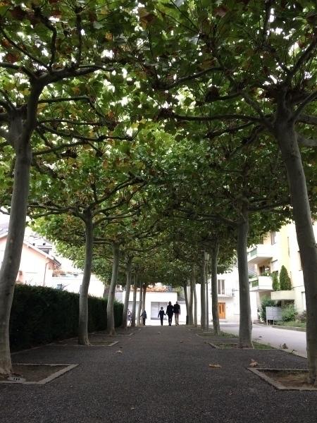 Sycamore trees, Brig, Switzerland