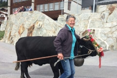 Hérens breed of cow in annual queen cow parade, Törbel