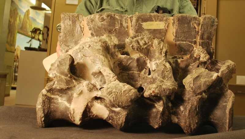 Allosaurus sacrum after preparation at DMNS