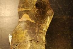 Allosaurus femur half in DMNS collection